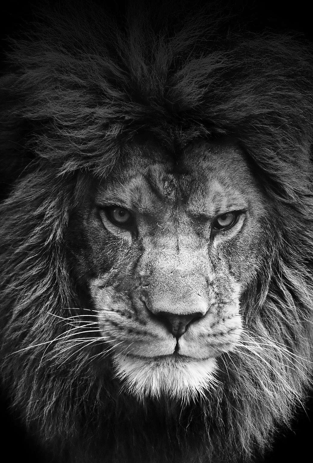 Прикольные картинки львов на аватарку
