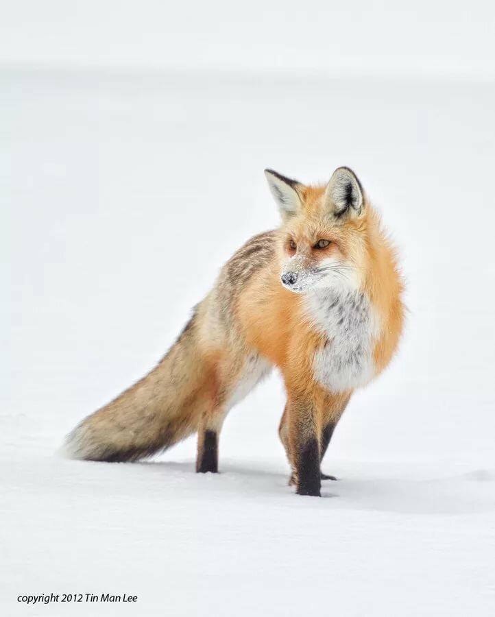 картинка лисы прорабы тюнинг шевроле