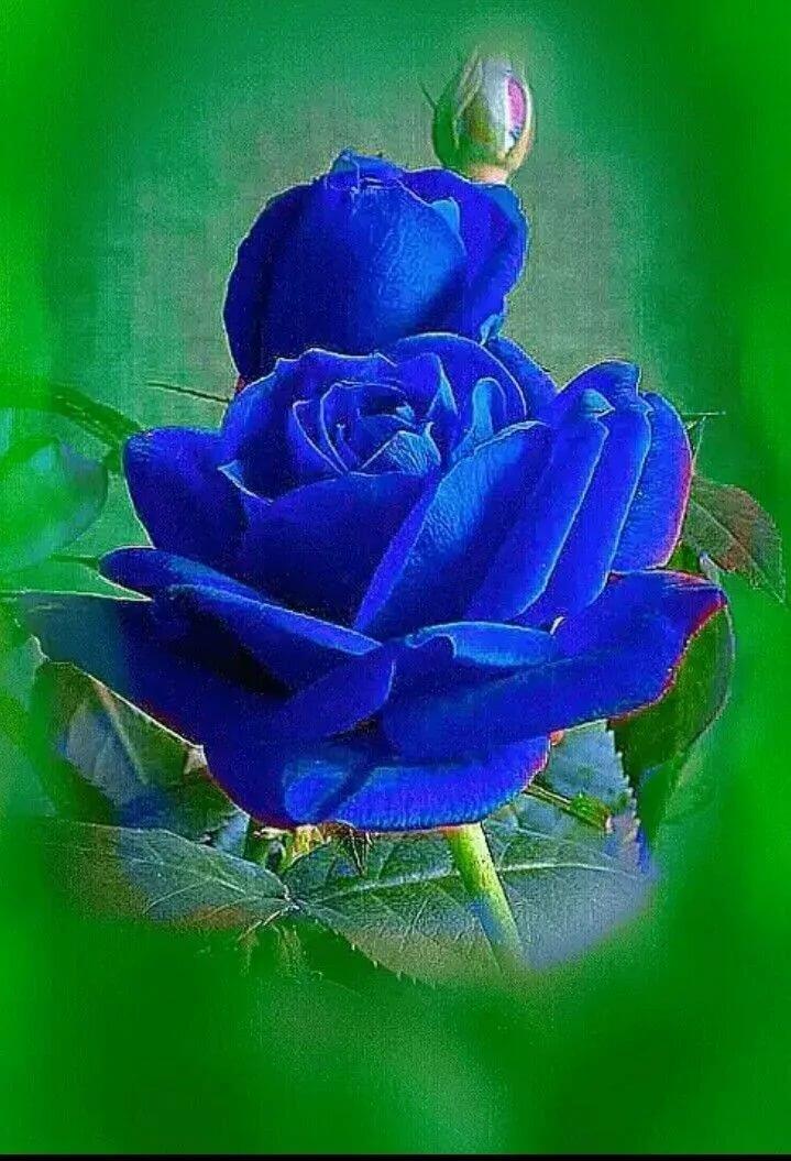 Зебра, картинки анимации синяя роза