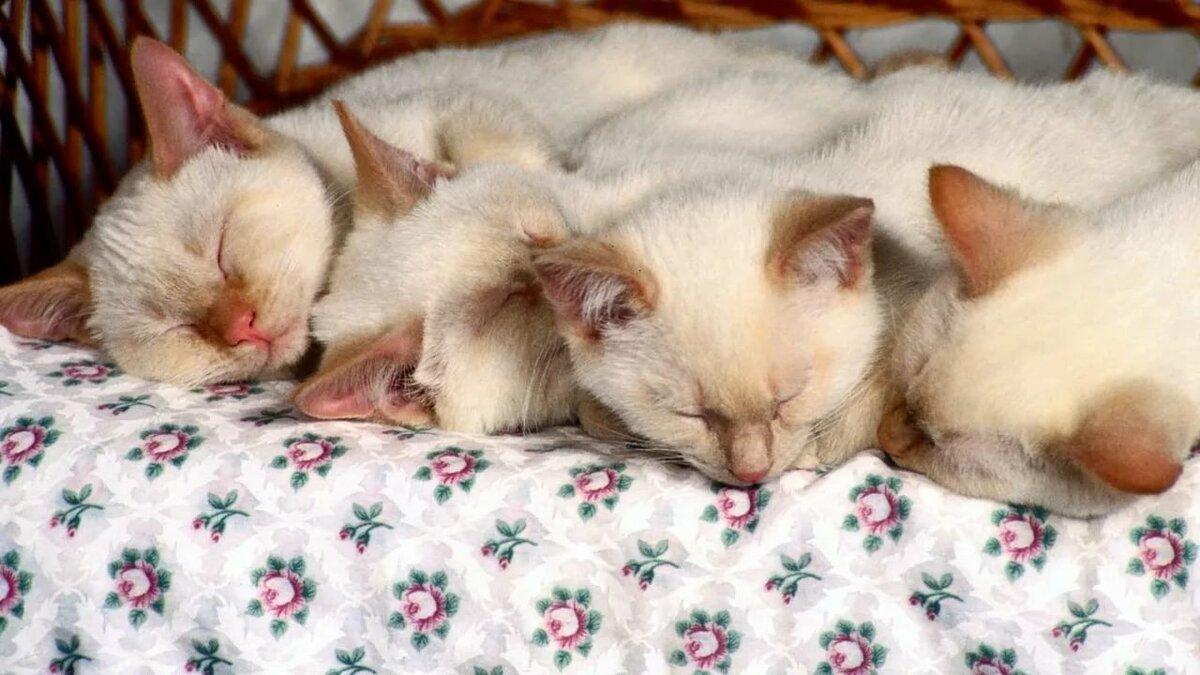 Фото спящих котенка