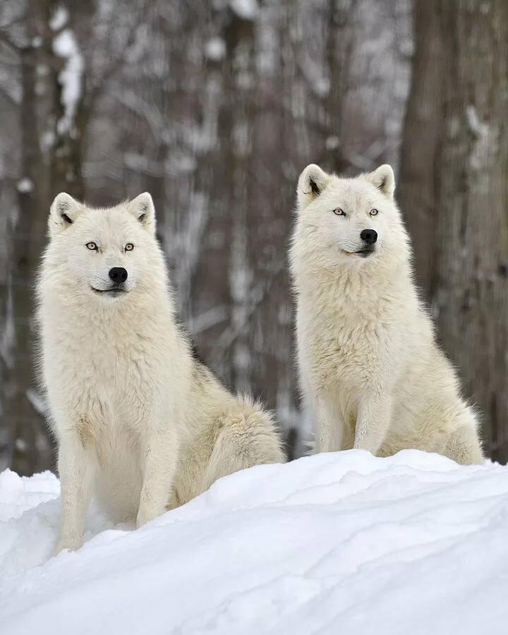 жаль, белые волки пара картинки изначально