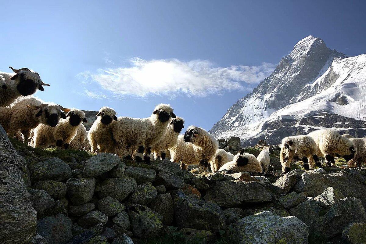 фотографии баранов на фоне гор кого самом
