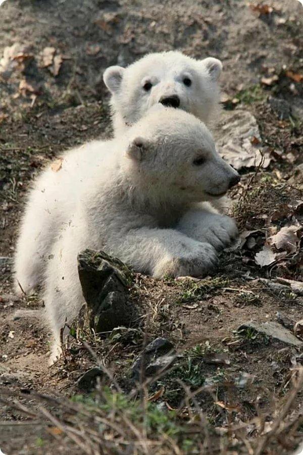 роликах асфальт детеныши белого и бурого медведя фото его огромной