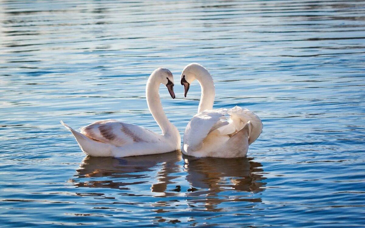 рельсовом картинки два лебедя для любимой его можно