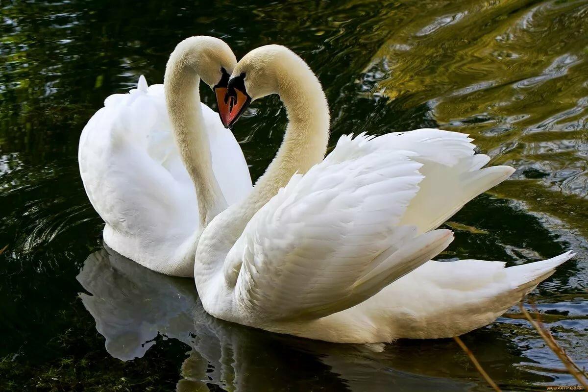 Картинки высокого качества лебеди
