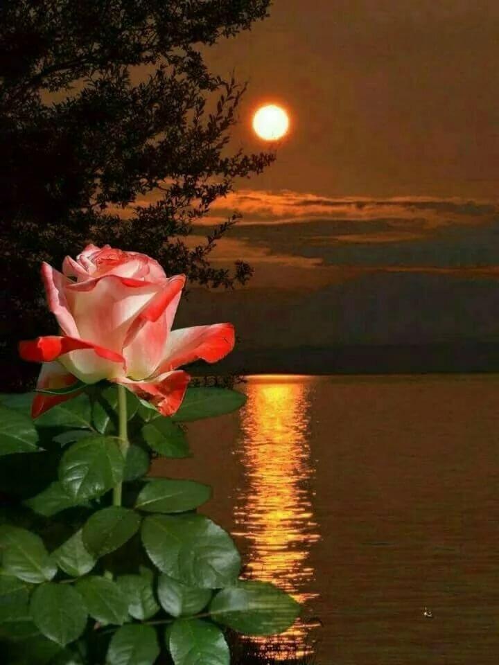 Незнайки, спокойной ночи цветы картинки красивые