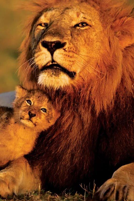 понимала картинка львенок с папой конечно