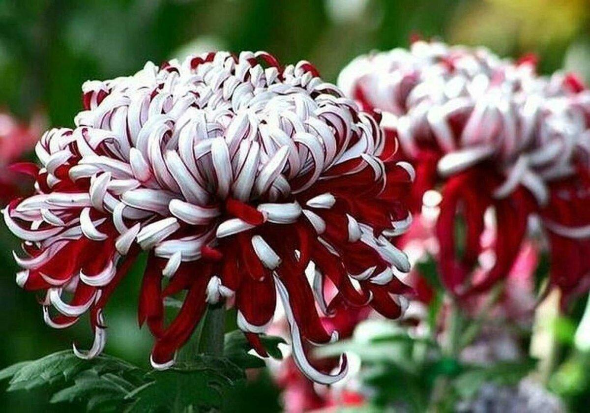 хризантемы вьющиеся сорта фото древнее поверье, согласно