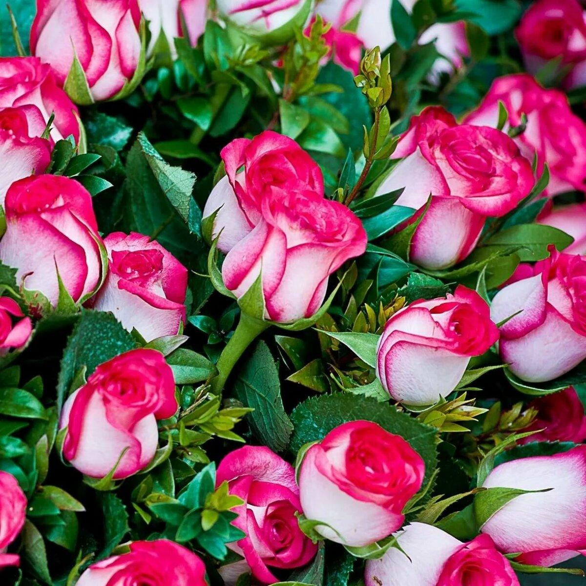Картинки розы на телефон красивые