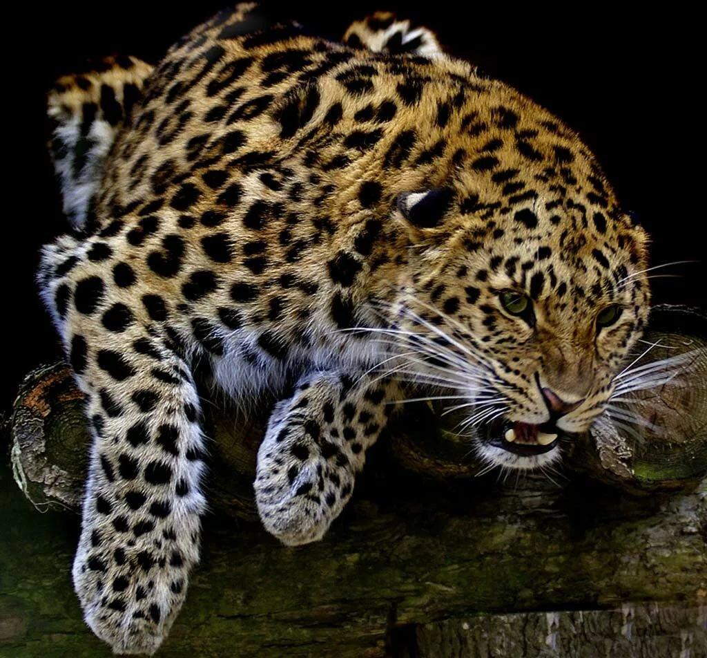 Картинки анимации леопарды, карлсоном
