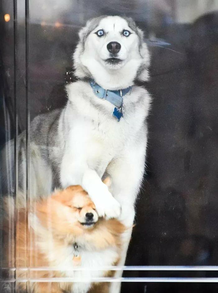 Смешные фотки про собак хаски