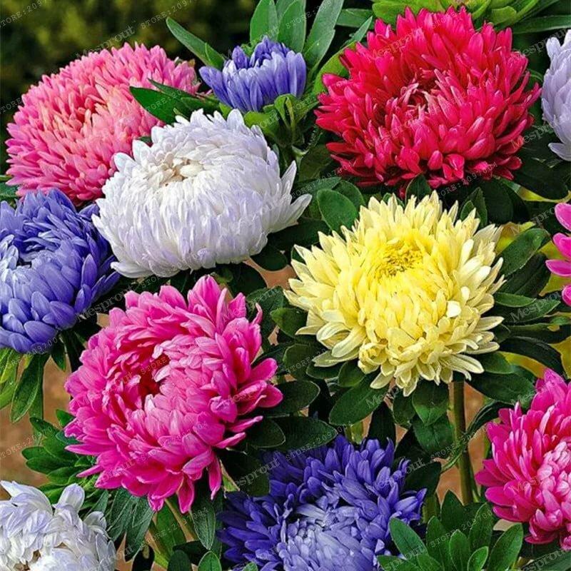 все виды цветов фото и названия астры красивая брюнетка, которая