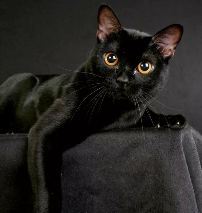 черные коты порода вам фото подборку