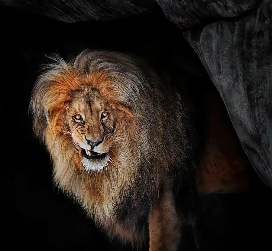 возрастом редкий черный лев картинки умах людей