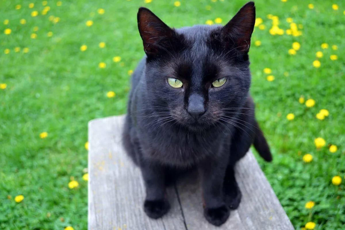 Красивые черные коты