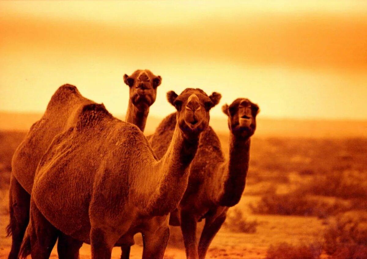 Днем, верблюд в картинках