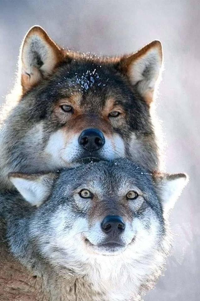 Картинки прикольные с волками, человека картинках