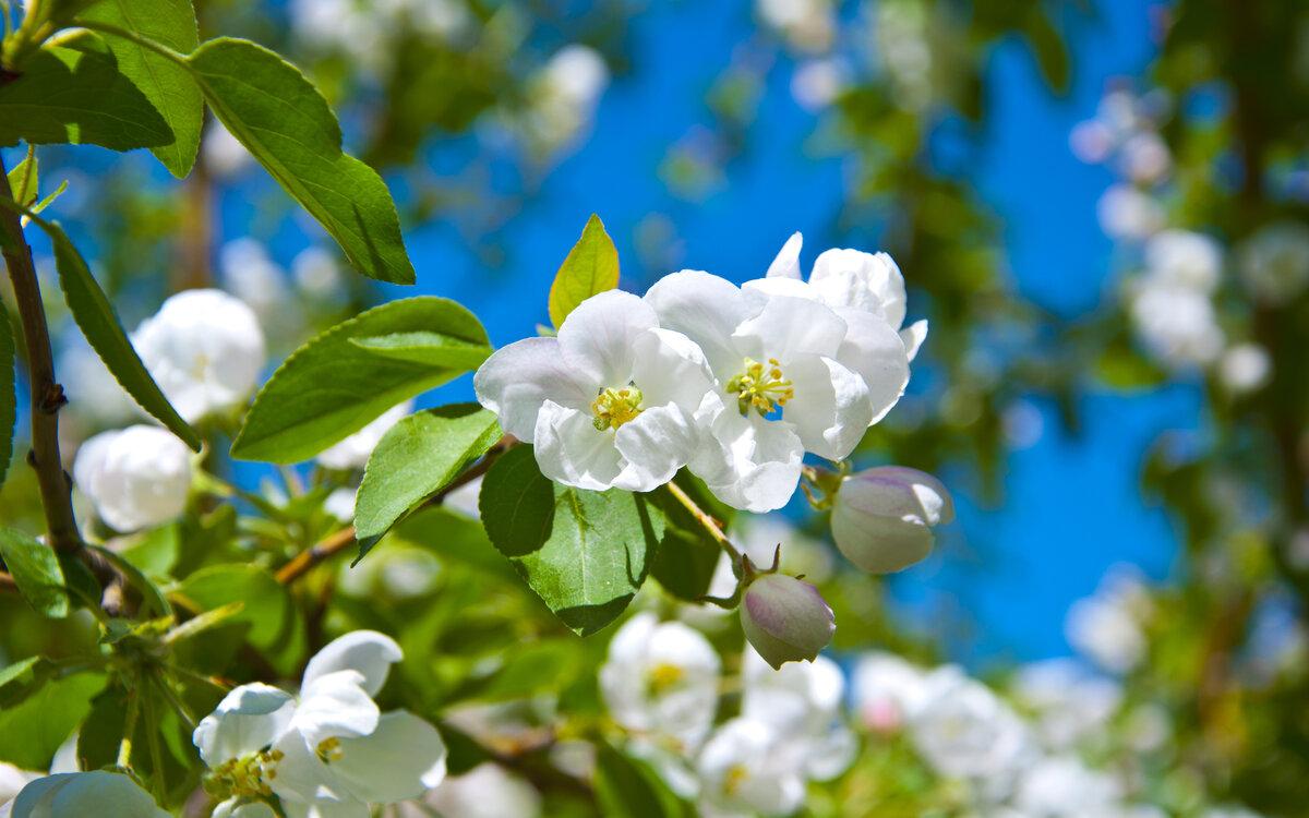 Картинки цветущая яблоня на рабочий стол