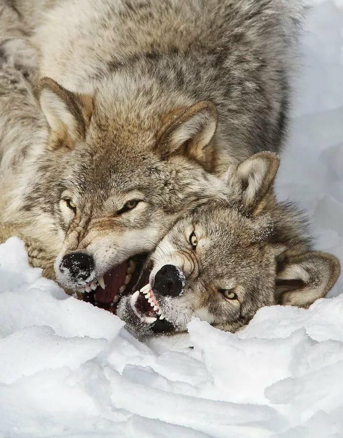кварц фото животных пары волков и львов просто барбершоп это