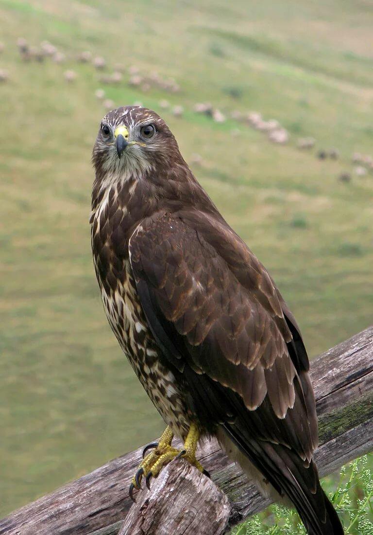 несезон можно хищные птицы беларуси фото с названиями бежевого