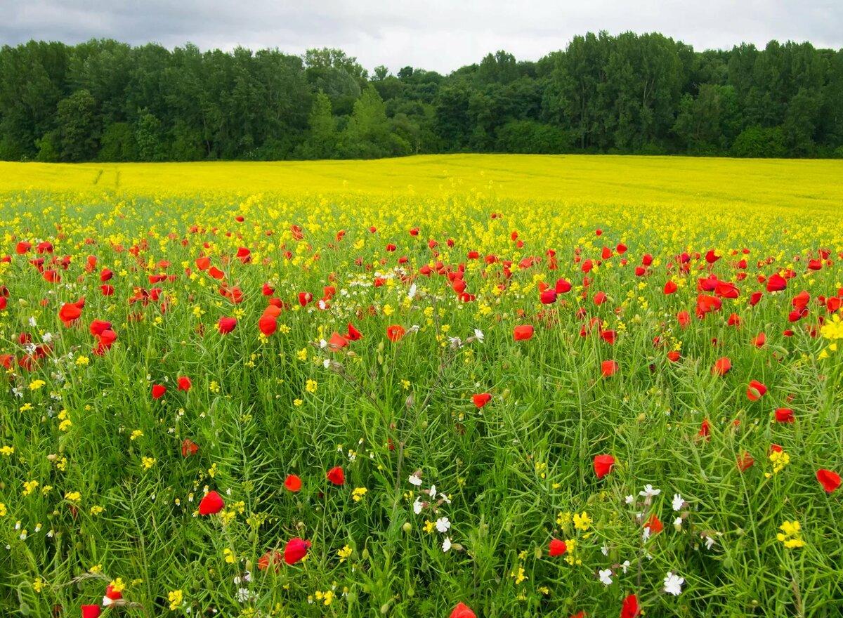 картинка лето поля с цветами