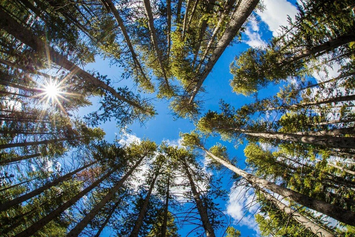 как сфотографировать деревья уходящие в небо тех пор данная