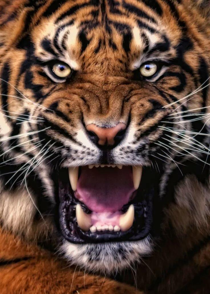 Днем, тигры фото картинки оскал