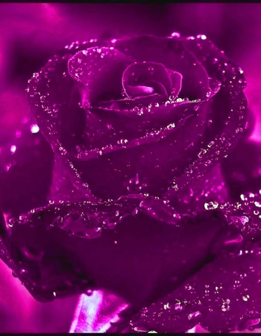 Живые Обои На Телефон Скачать Бесплатно Розы