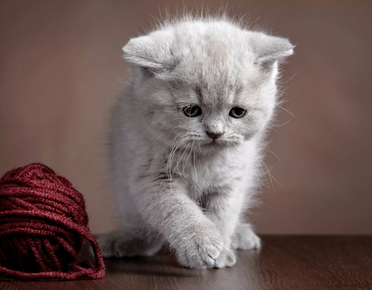 Картинки серых котенка
