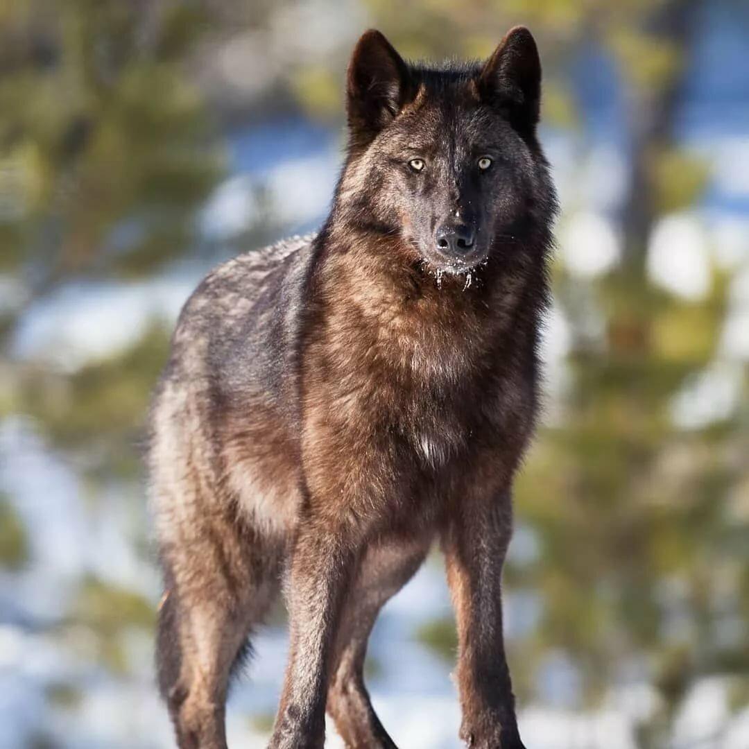 окрасы волков фото вот настоящие
