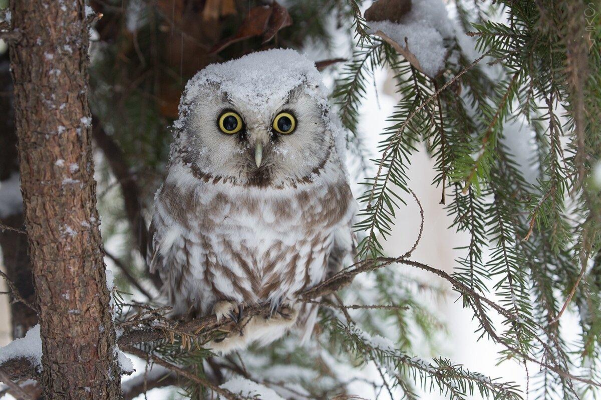 картинки совы зимой в лесу любую месню