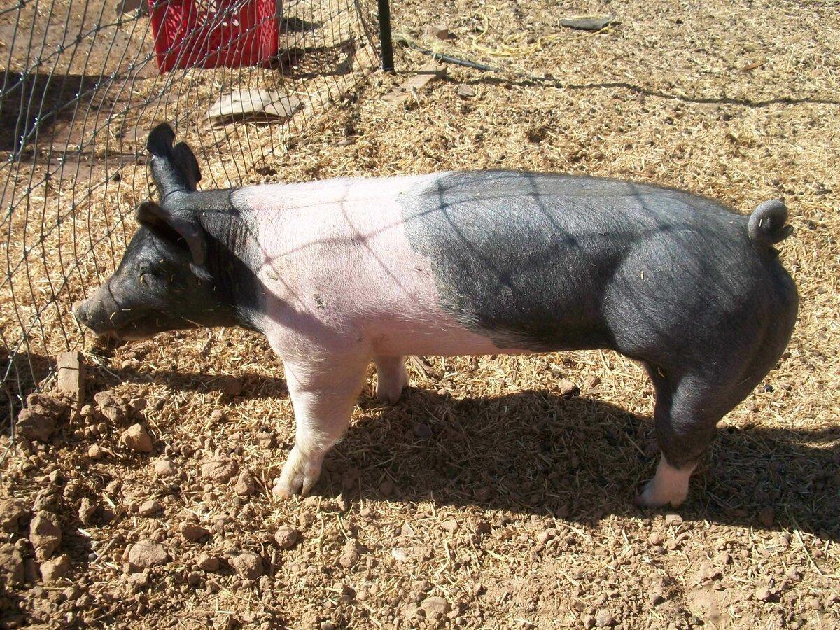 Самая большая свинья в мире фото фотка предлагает