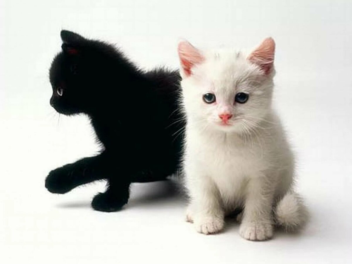 Кот белый картинки для детей