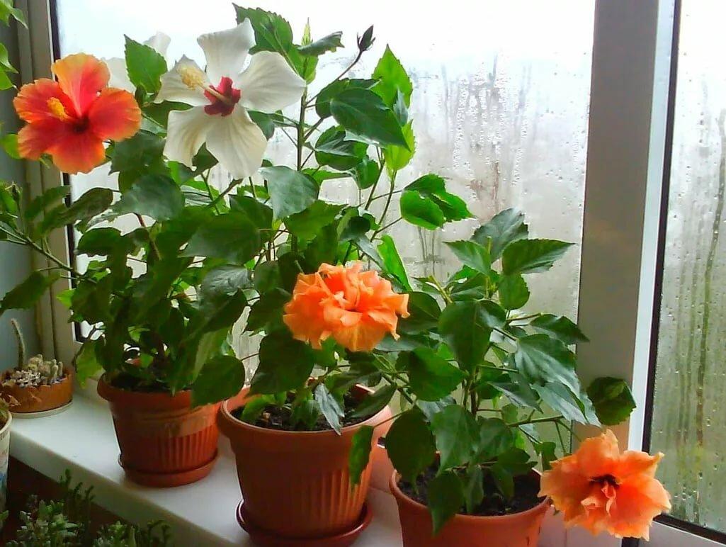 Комнатные цветы розы фото и названия все виды цветущие
