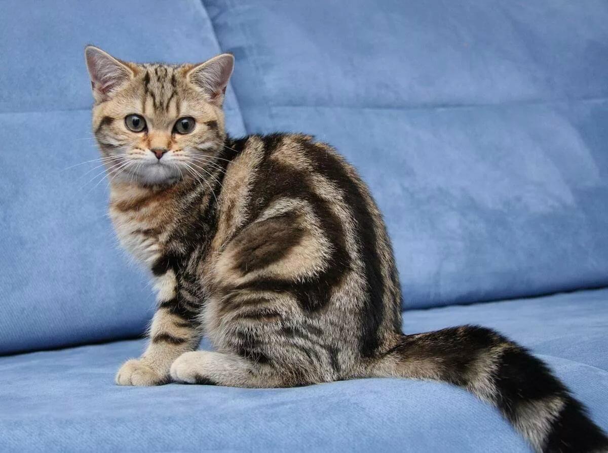 британские коты окрасы фото ними также