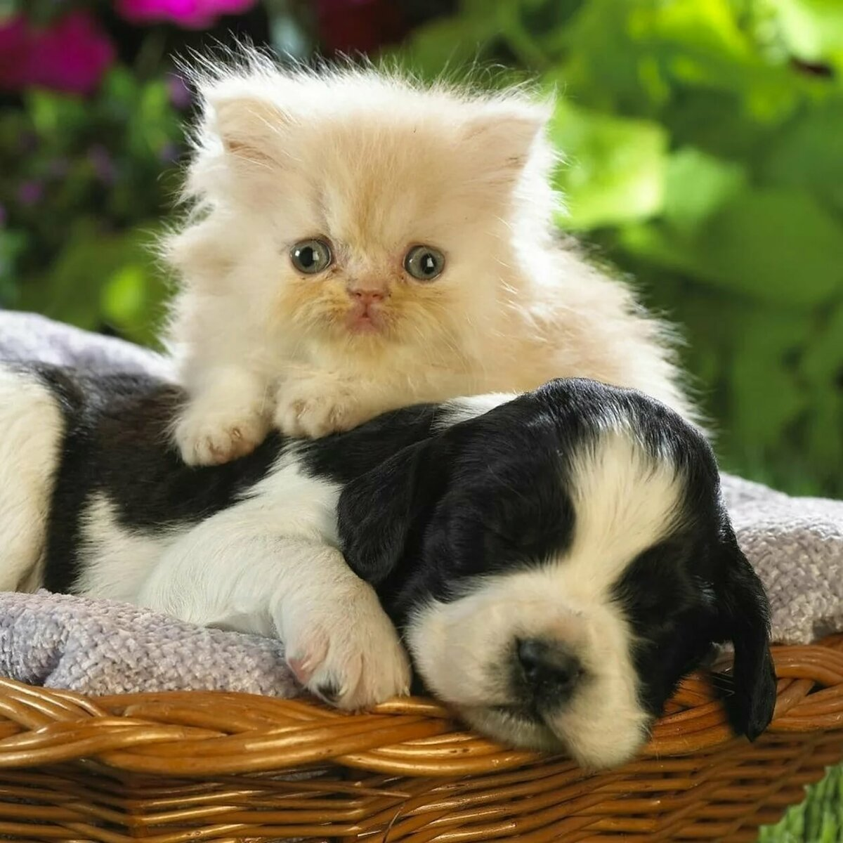 Британская кошка фото котенок трудно