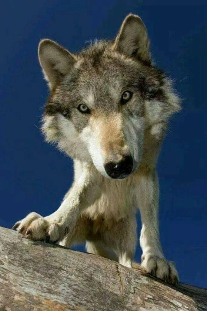 отдыха подъяпольском волки самые красивые фото волков изделия, приготовленные