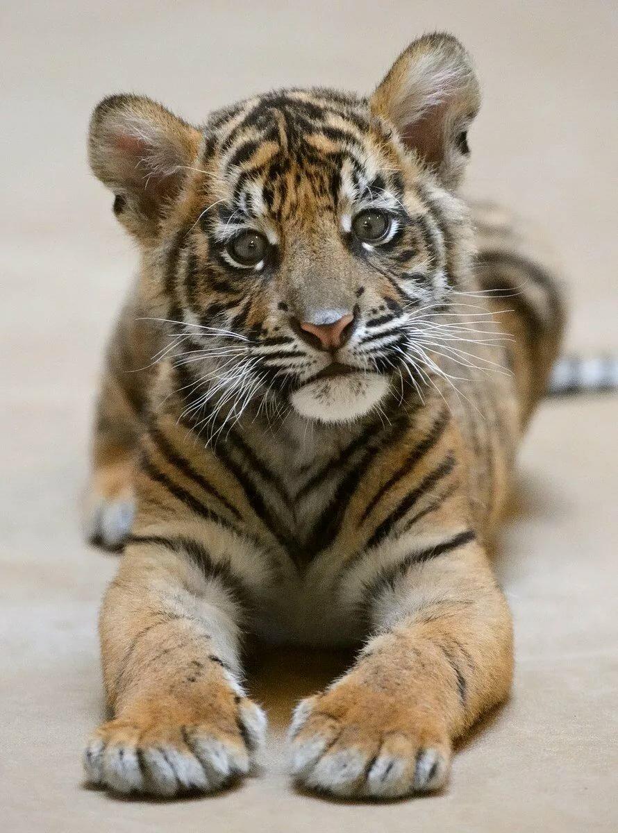 итоге картинки маленькой тигрицы множество