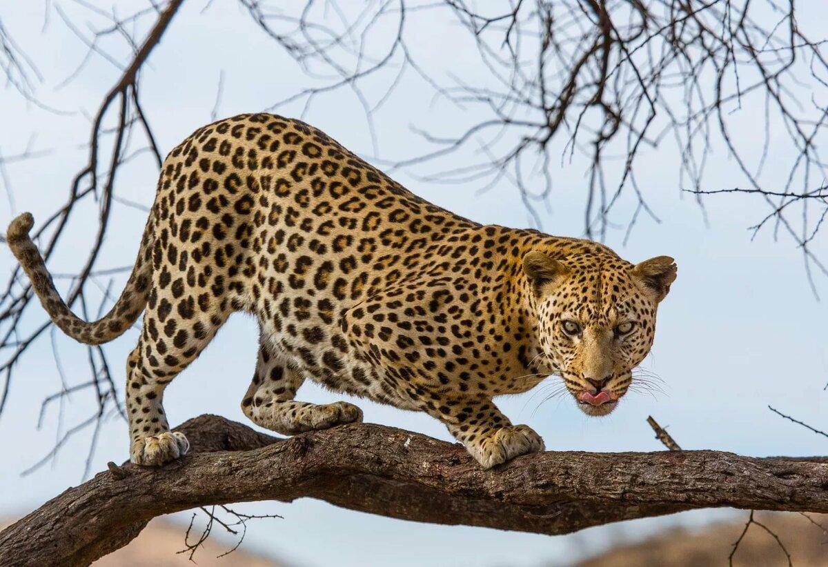 леопард картинки животного целенаправленно подвязывают таким