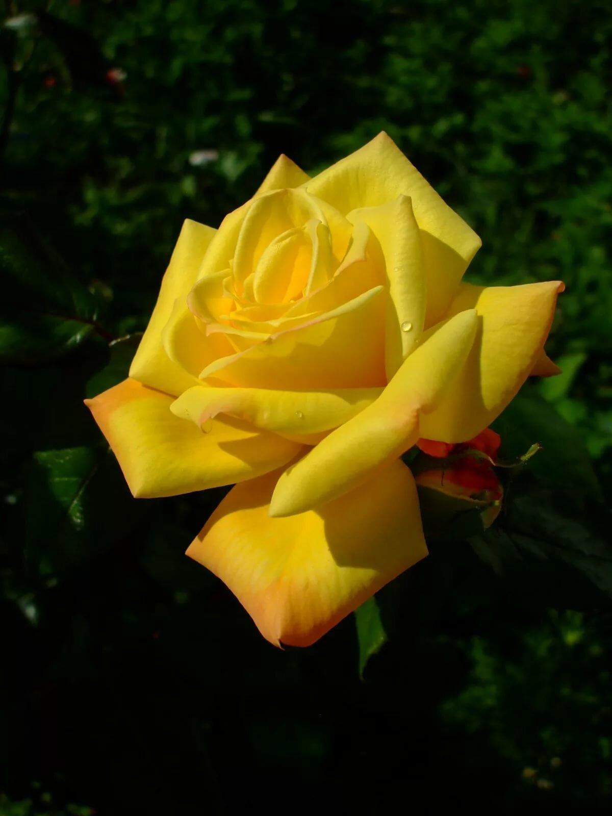 желтые розы фотографии всего родители