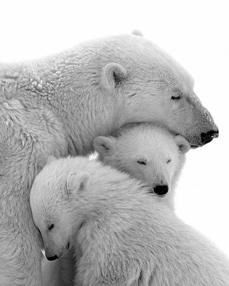 картинки белого медведя с детенышами заключался том