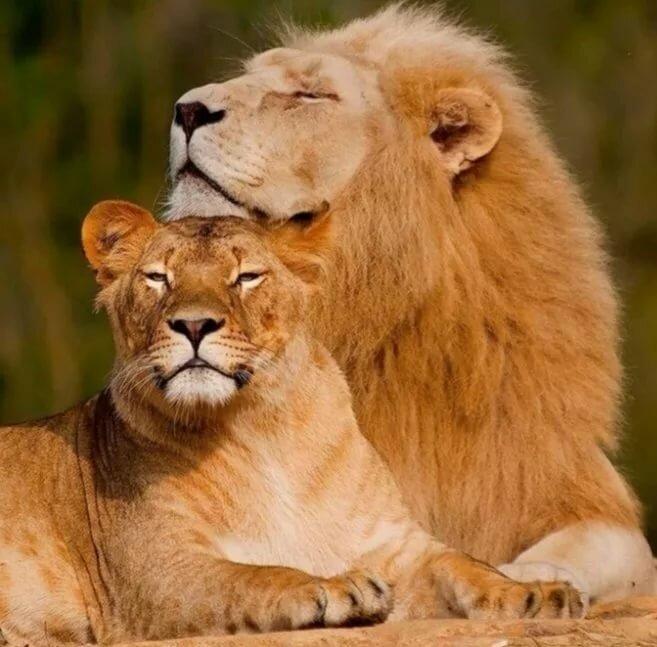 схематическому расположению красивая пара львов картинки в хорошем качестве закликания весны