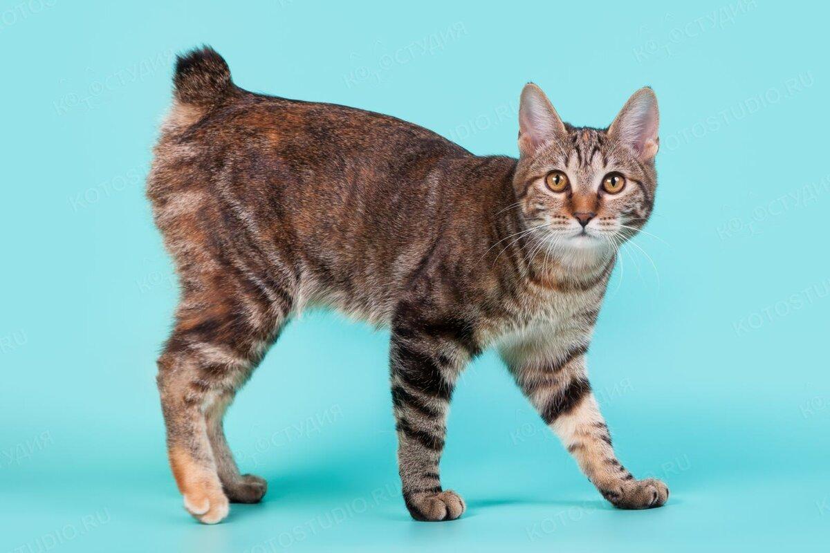 бобтейл коты характер ниже появится