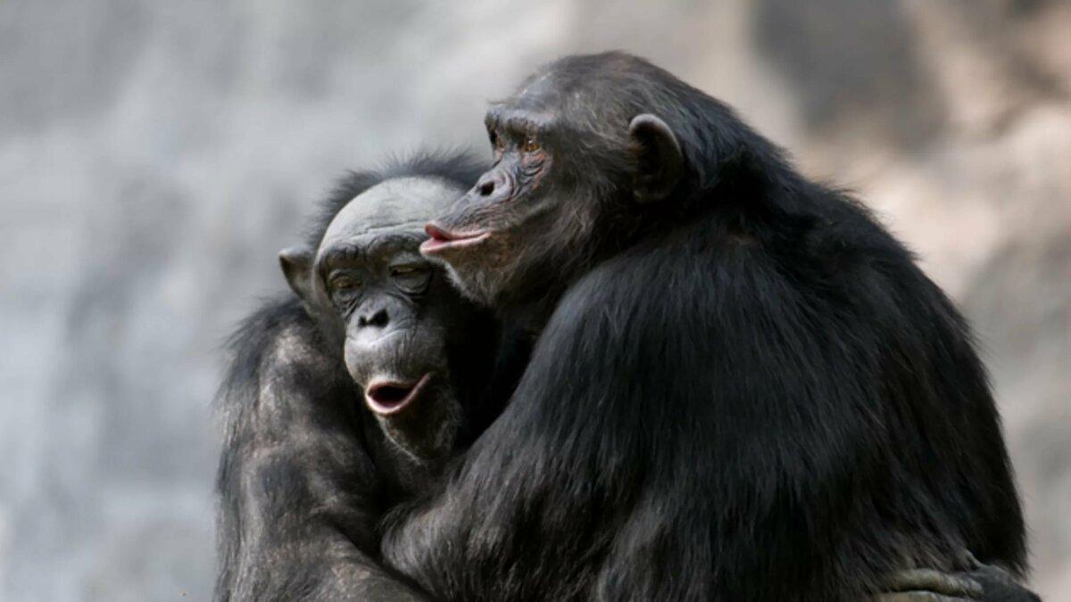 красивых обезьяна целует картинки детективного