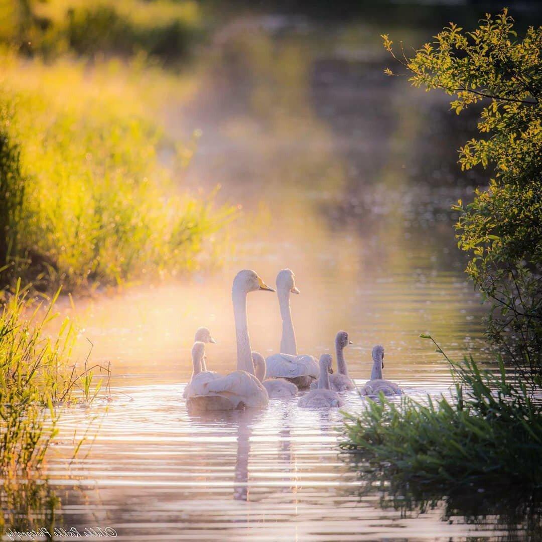 Картинки с лебедями доброе утро