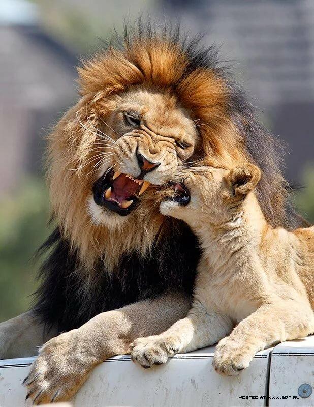 выражение картинки с фото львов через