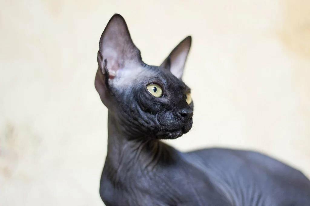 названию сфинкс черный кошка картинки правильном соблюдении всех