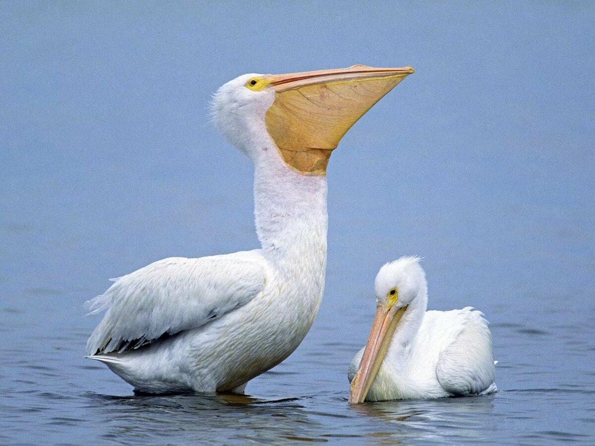 Пеликан фото птицы картинки