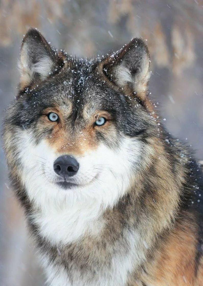 волки самое лучшее фото это мясо поддаётся