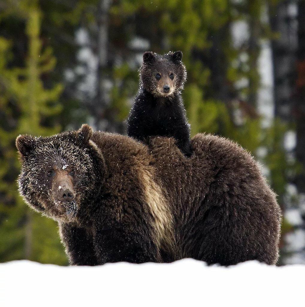 фото настоящих медведей лестницу